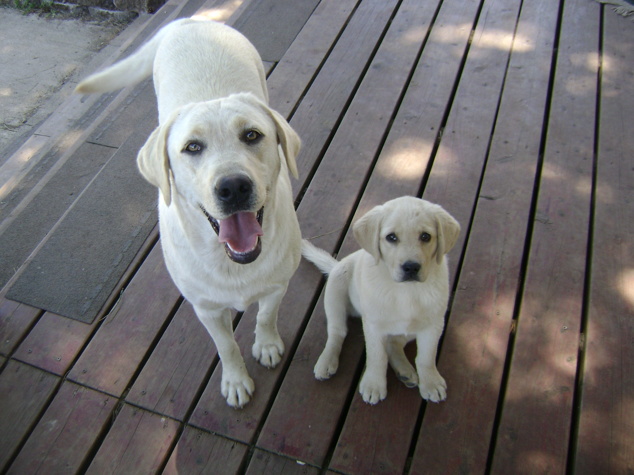 Platinum Champagne and Fox Red Labradors